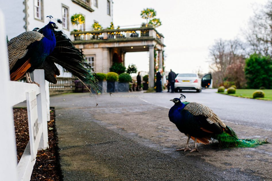 Peacock at prestonfield house wedding venue in Edinburgh